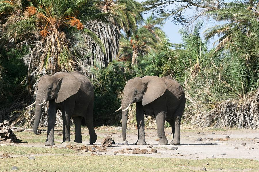 Elephant Photograph - Focus by David Wahome
