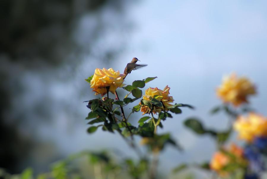 Hummingbird Photograph - Focus On Beauty by Ellen Lerner ODonnell
