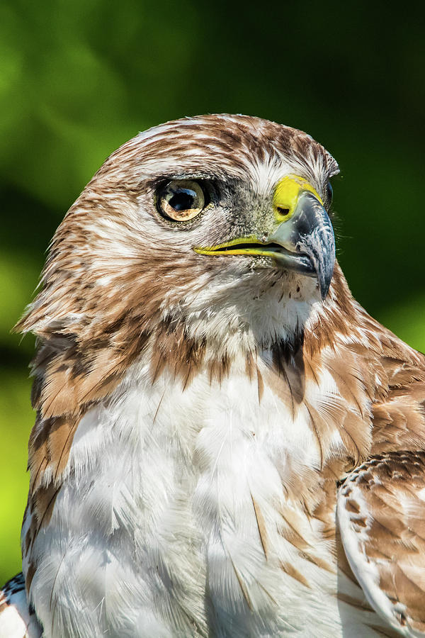 Focus - Red Tail Hawk by Kenneth F Konjevich