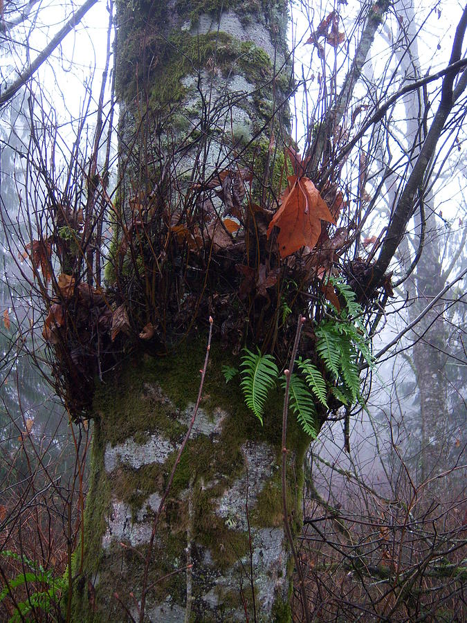Fern Photograph - Fog And Ferns by Ken Day