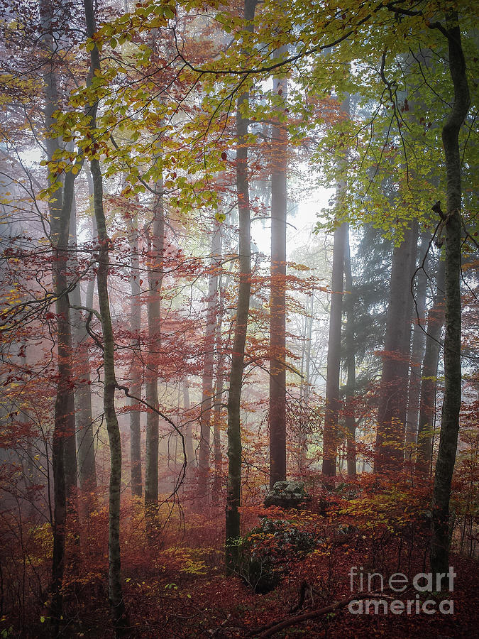 Forest Photograph - Fog In Autumn Forest by Elena Elisseeva