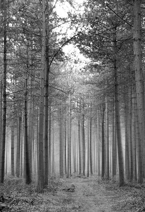Forest Photograph - Foggy Forest by Svetlana Sewell