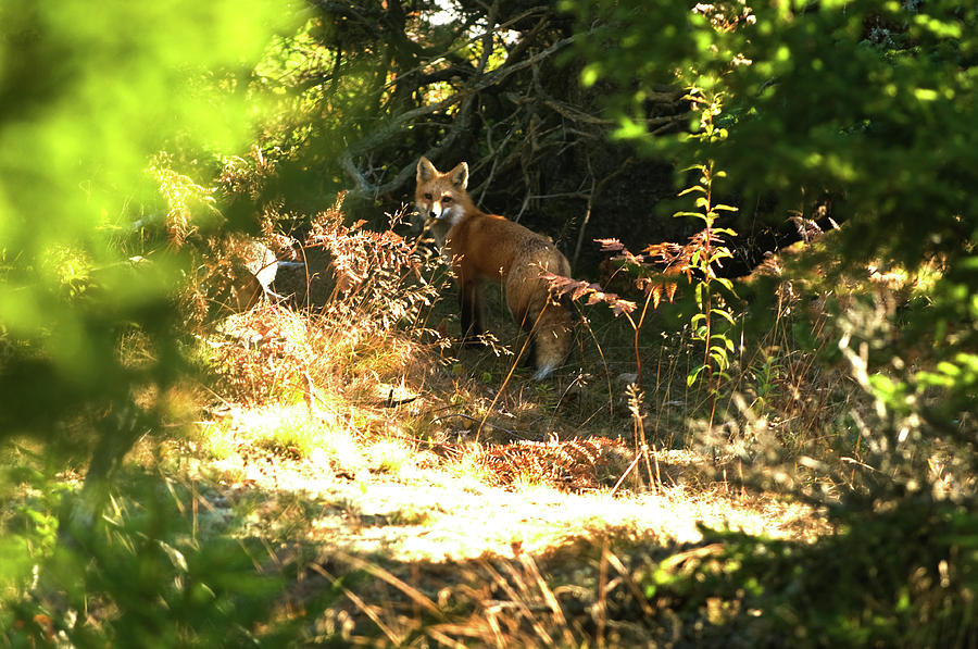 Red Fox Photograph - Follow Me by Paul Mangold
