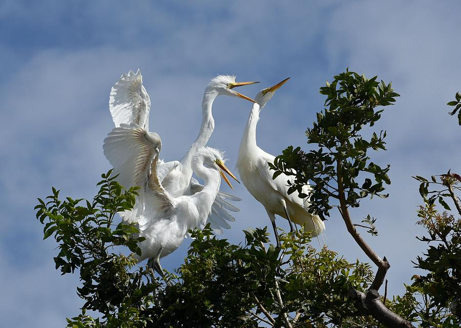 Great Egrets Photograph - Food Competition by Fraida Gutovich