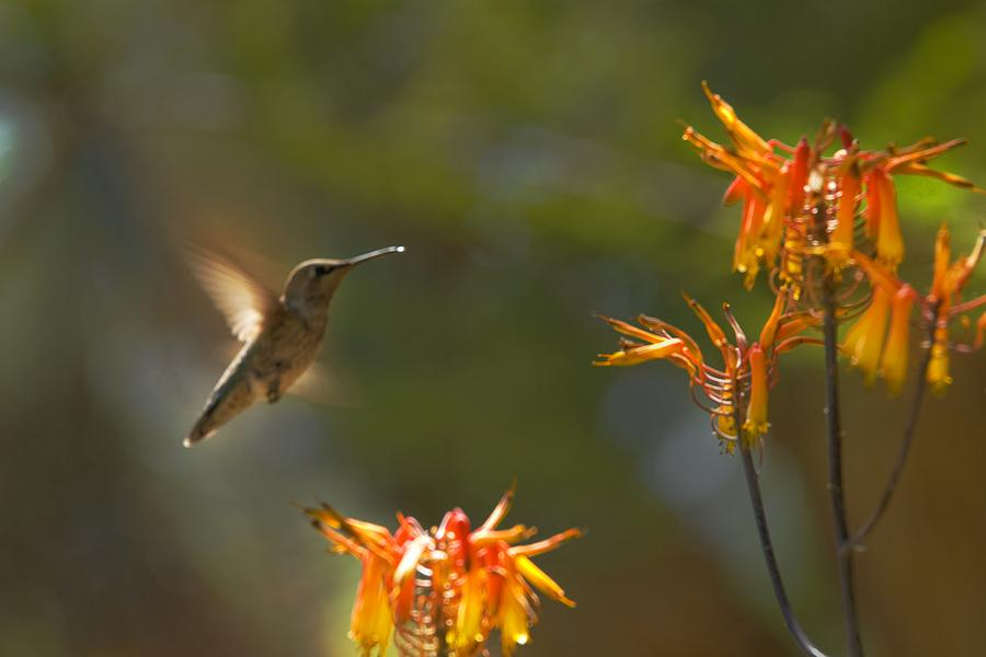 Hummingbird Photograph - Food for Flyers by Richard Henne