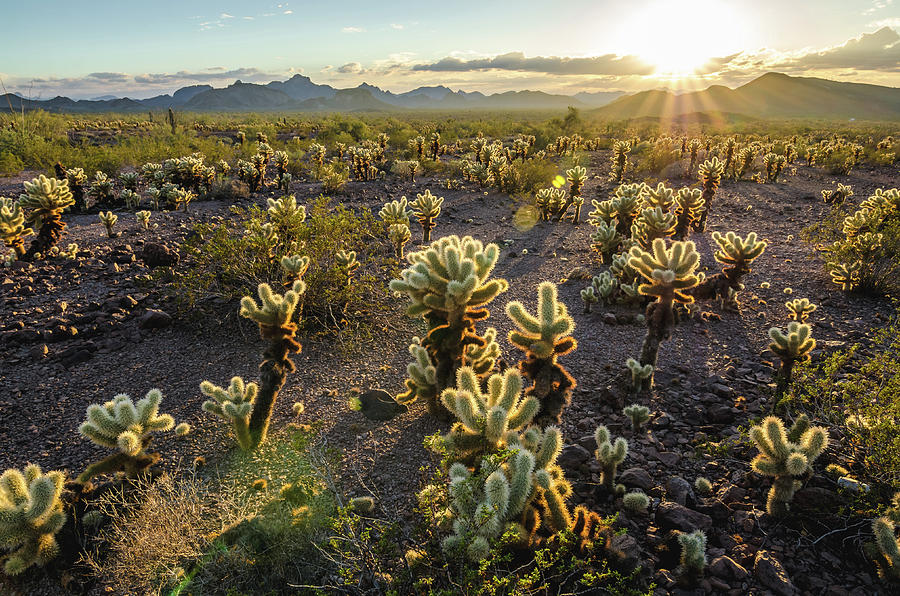 Sea of Cholla by Margaret Pitcher