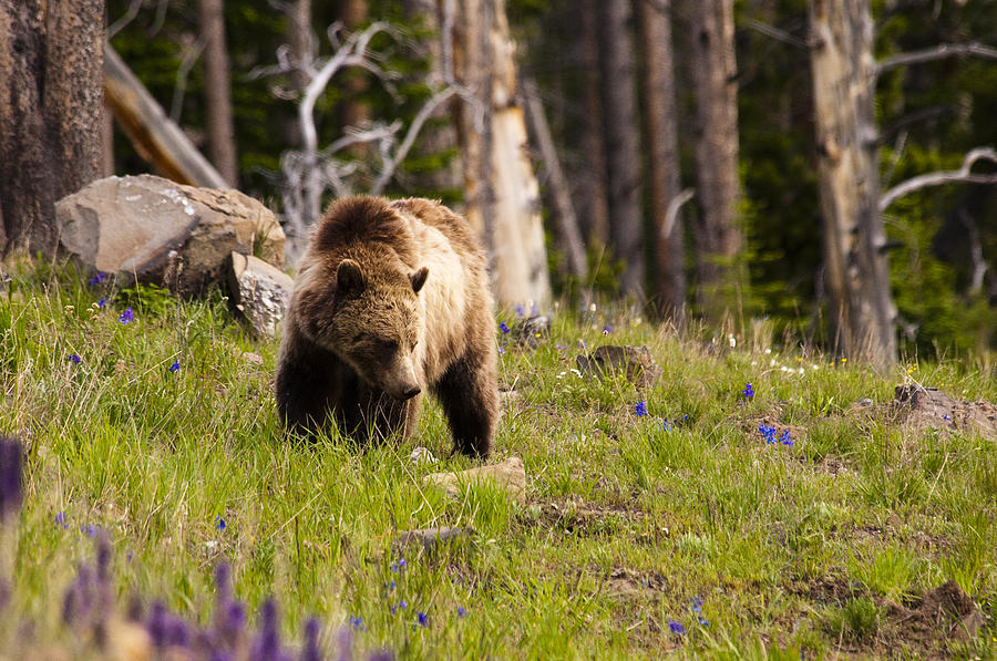 Grizzly Bear Photograph - Foraging Grizzly by Chad Davis