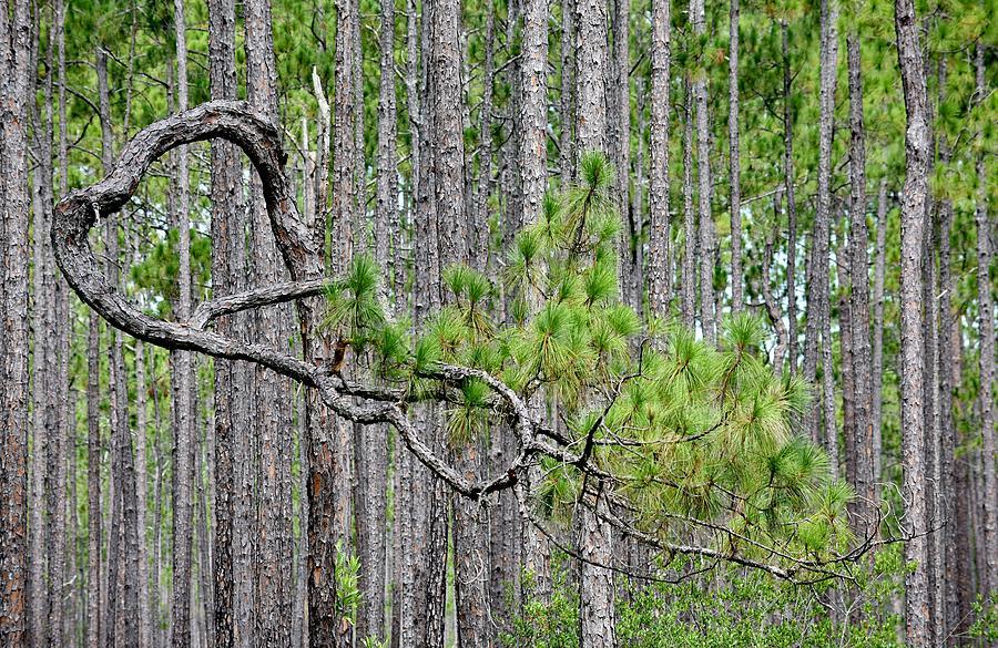 Roy Erickson Photograph - Forest Bonsai Pine by rd Erickson