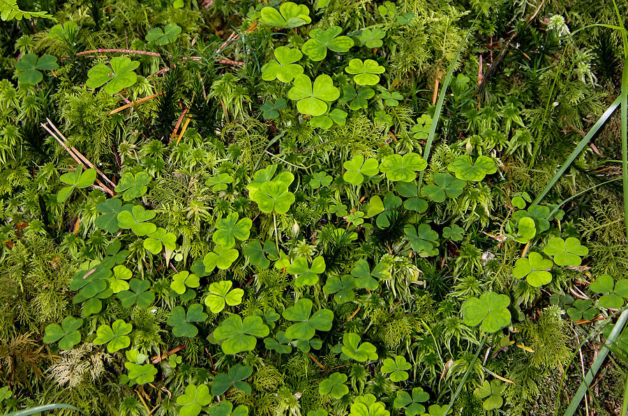 Shamrock Photograph - Forest floor by Peggy Berger