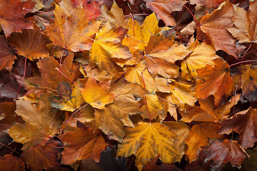 Maple Photograph - Forest Floor by Steve Gadomski
