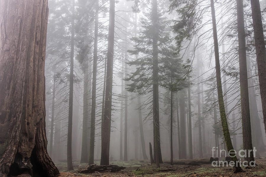 Sequoia National Park Photograph - Forest Fog by Peggy Hughes