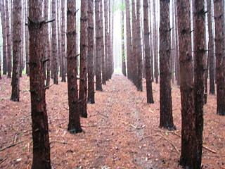 Trees Photograph - Forest Of Evergreens by Lila Mattison