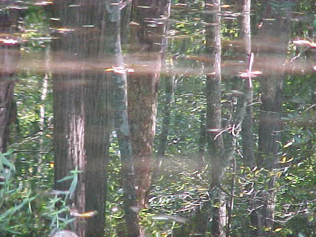 Water Photograph - Forest Of Mirrors by Ricky  Rayburn
