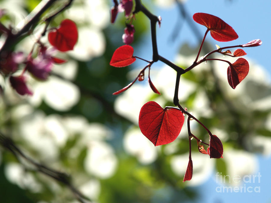 Backlit Photograph - Forest Pansy Redbud Leaves In Spring by Anna Lisa Yoder