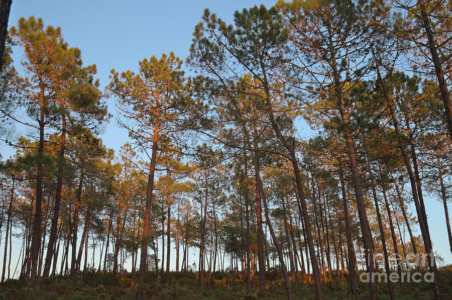 Sky Photograph - Forest Pine Trees At Sunset by Angelo DeVal