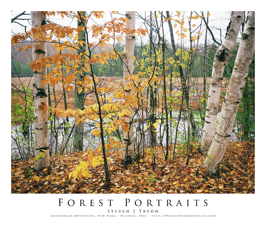 Adirondack Mountains Photograph - Forest Portraits by Steven Tryon
