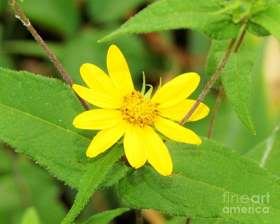 Yellow Flower Photograph - Forest Sunflower by James Seitzinger