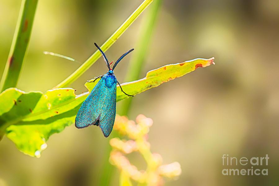 Animalia Photograph - Forester Moth From Bulgaria by Jivko Nakev