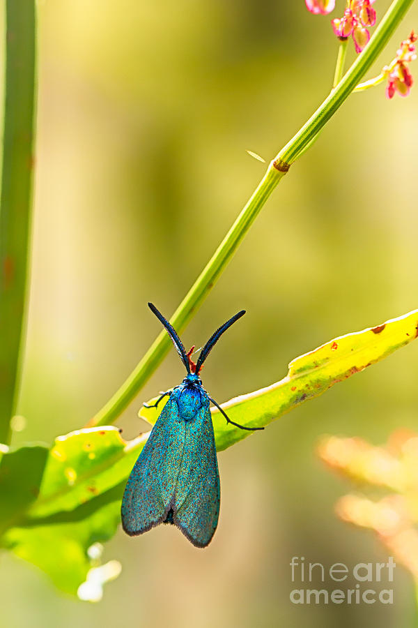 Animalia Photograph - Forester Moth  by Jivko Nakev