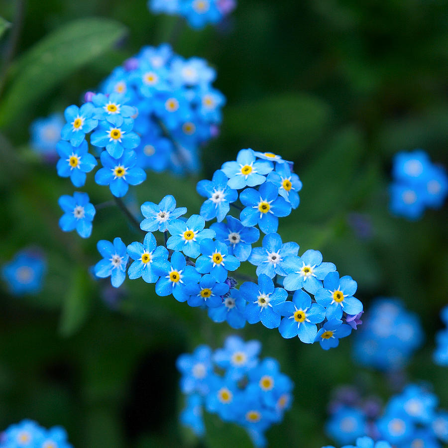 Nokia Photograph - Forget -me-not 5 by Jouko Lehto