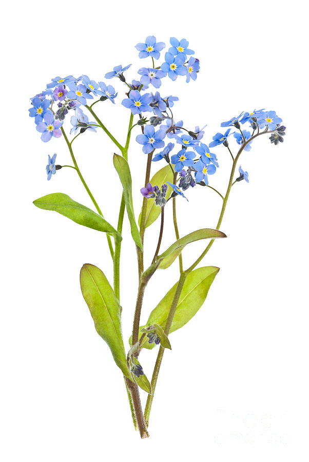 Forget-me-not Flowers On White Photograph