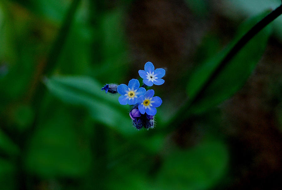 Forget Me Not Photograph - Forget Me Not  by Marilynne Bull