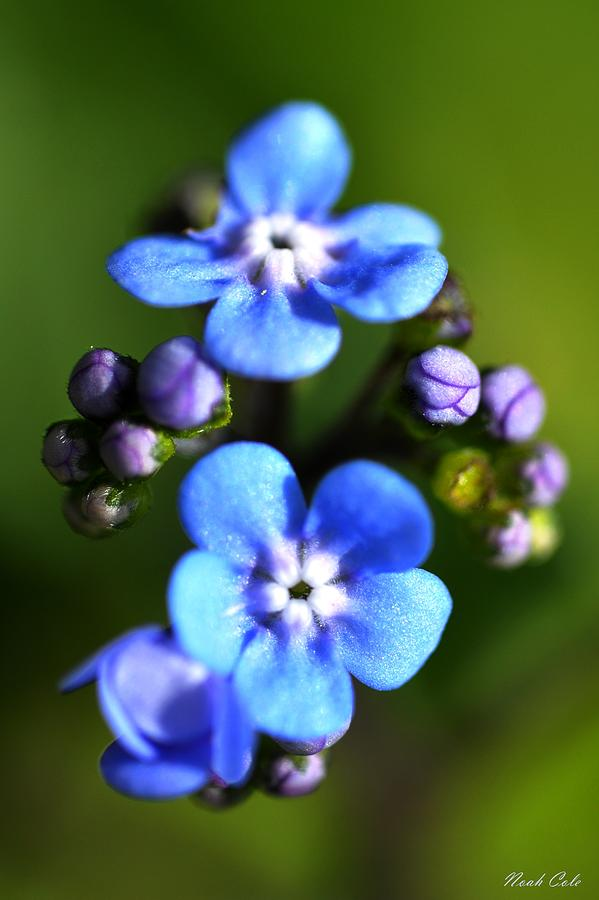 Wood Forget-me-not Photograph - Forget-me-not by Noah Cole