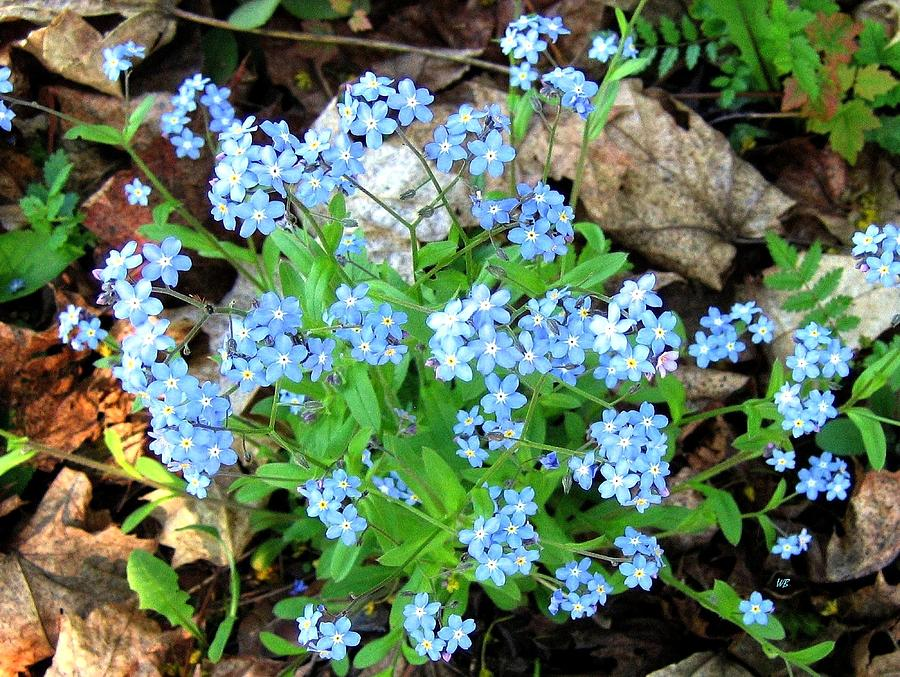 Forget-me-not Photograph - Forget-me-not by Will Borden