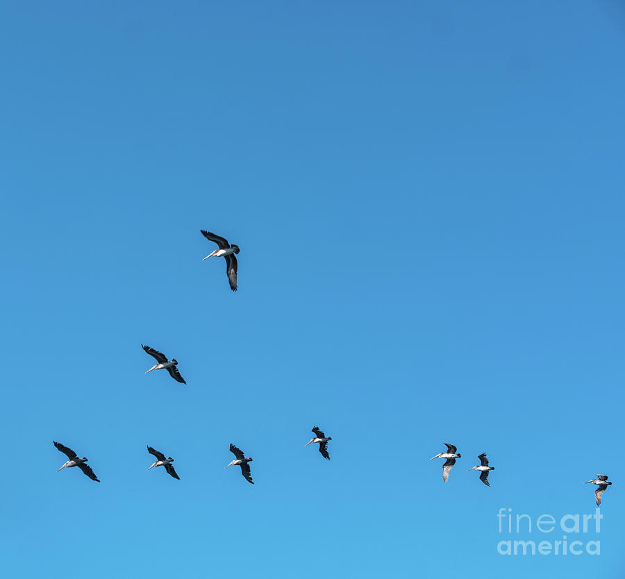 California Photograph - Formation Of Pelicans Flying Together by PorqueNo Studios