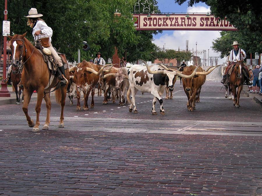 Cattle Photograph - Fort Worth Cattle Drive by David and Carol Kelly