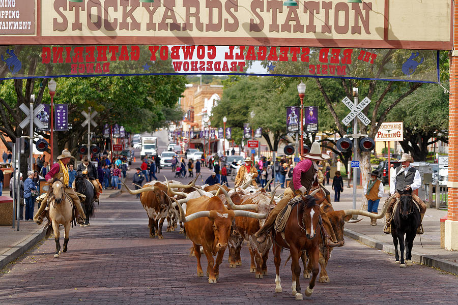 Fort Worth Cattle Drive Photograph By Jonathan Davison