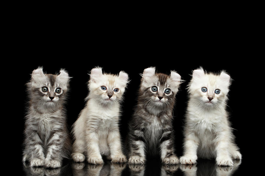 Curl Photograph - Four American Curl Kittens with Twisted Ears Isolated Black Background by Sergey Taran