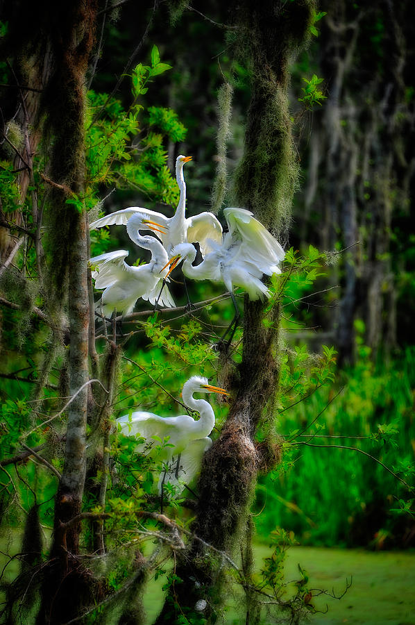 Four Egrets in Tree by Harry Spitz
