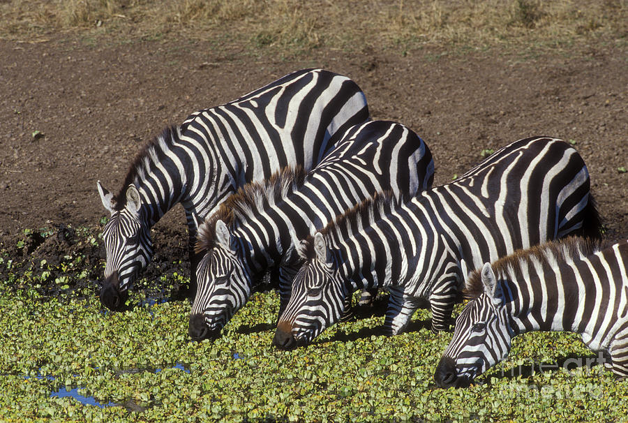 Zebra Photograph - Four For Lunch - Zebras by Sandra Bronstein