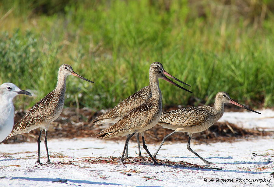 Marbled Godwit Photograph - Four Marbled Godwits by Barbara Bowen