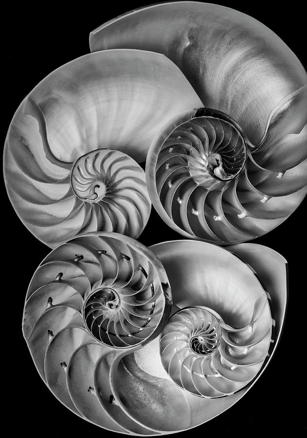 Nautilus Shell Photograph - Four Nautilus Shells by Garry Gay