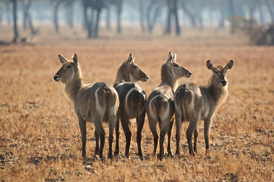 Africa Photograph - Four Waterbucks by Johan Elzenga