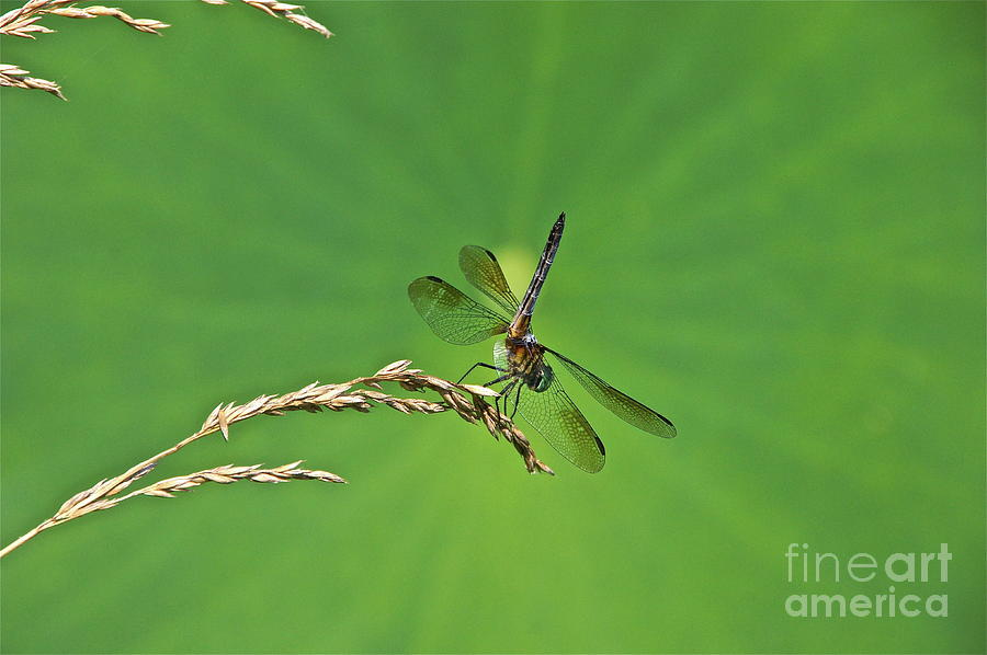 Dragonfly Photograph - Four-winged Interceptor by Byron Varvarigos