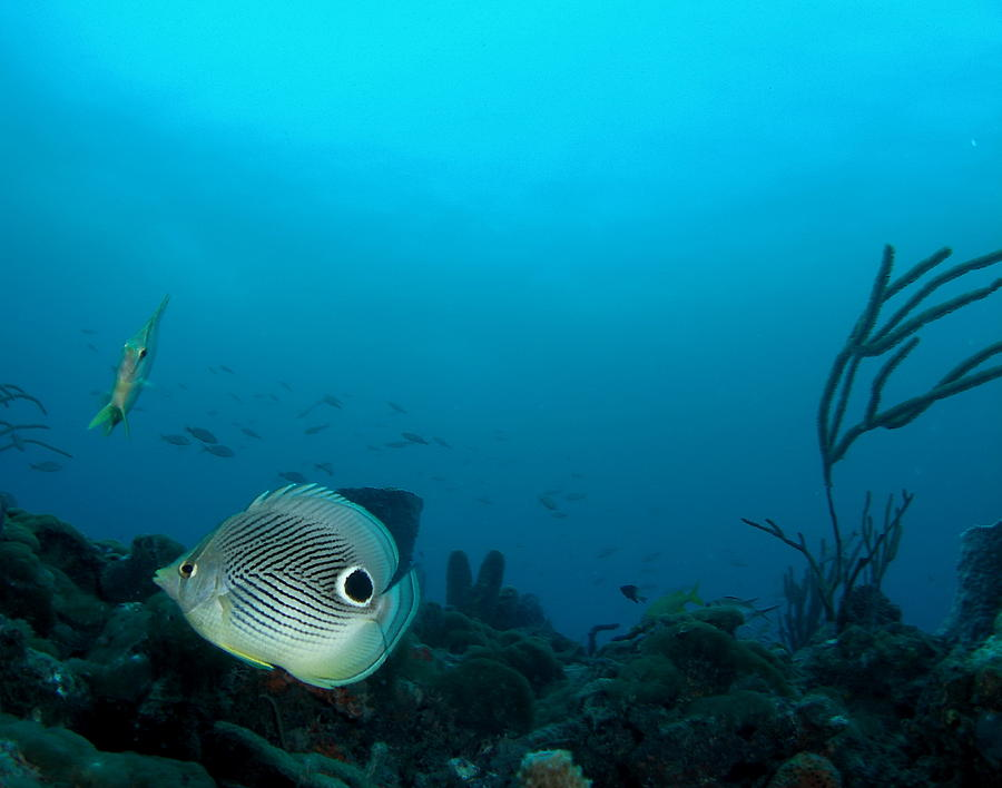 Four Photograph - Foureye Butterflyfish by Caitlin Ludwig