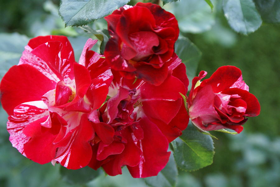 Red White Roses Photograph - Fourth Of July Roses by Jacqueline Russell