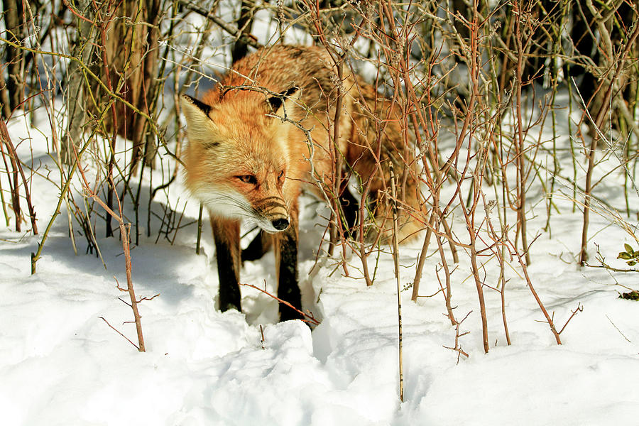 Fox And Snow Photograph