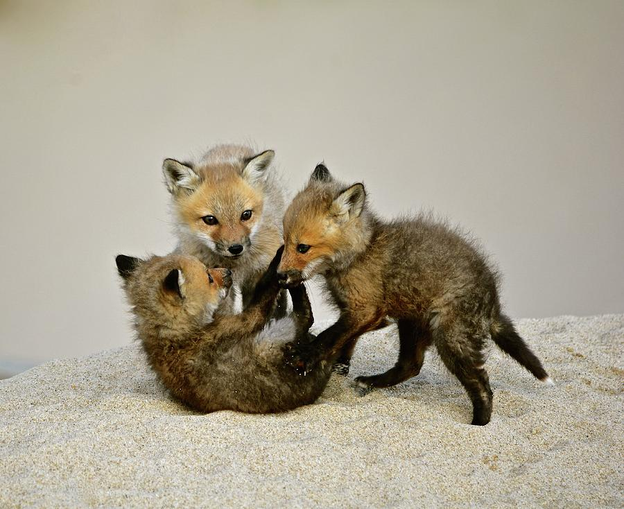 Fox Cubs Photograph - Fox Cubs At Play by Susan Ballard