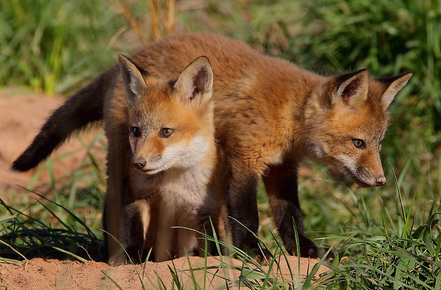 Fox Photograph - Fox Cubs Playing by William Jobes