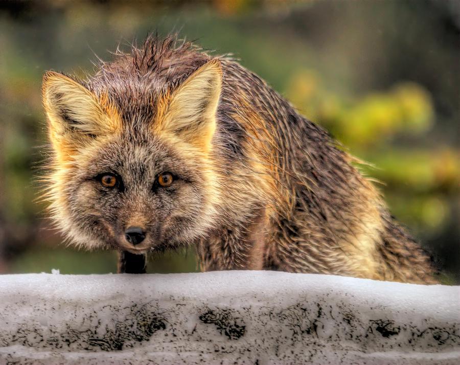 Fox Photograph - Fox Hunting In The Snow II by Paul W Sharpe Aka Wizard of Wonders