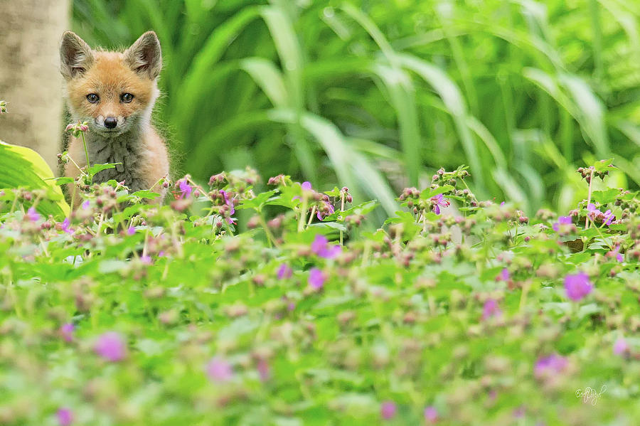 Red Photograph - Fox In The Garden by Everet Regal