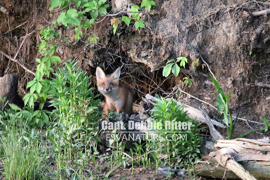 Fox Photograph - Fox Kit 2764 by Captain Debbie Ritter