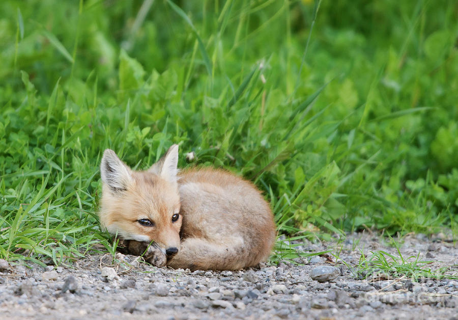 Fox Kit resting by Shannon Carson