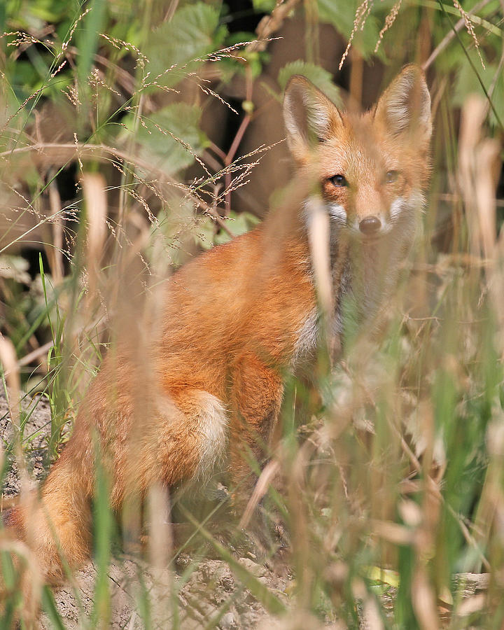Nature Photograph - Fox by Mike Dickie
