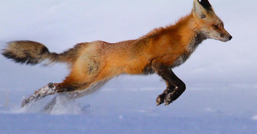Fox on the Run by Paul Marto