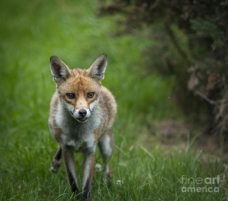 Fox Photograph - Fox by Philip Pound